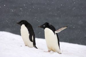 adelie penguins, Pygoscelis Adeliae, in falling snow along the western Antarctic Peninsula