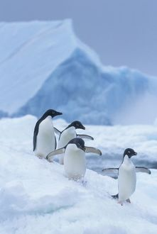 Adelie Penguins (Pygoscelis adeliae) on ice, Antarctica