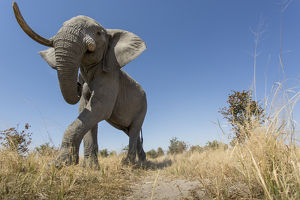 Africa, Botswana, Chobe National Park, Low angle view of African Elephant (Loxodonta