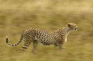 Africa, Kenya, Masai Mara. Motion blur of cheetah stalking prey
