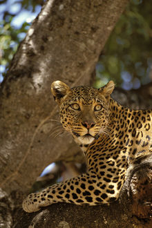 Africa, Kenya, Masai Mara Reserve. Leopard lounges in a fig tree