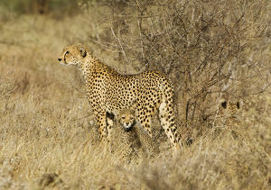 Africa, Kenya, Samburu National Reserve. Mother cheetah with two babies. Credit as