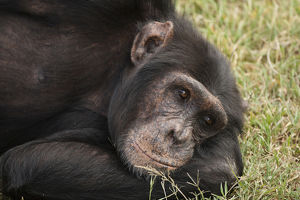 Africa, Kenya, Sweetwater Conservancy, Amboseli National Park; Common Chimpanzee
