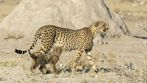 Africa, Namibia, Etosha National Park. Cheetah mother and cub