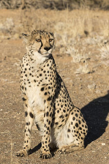 Africa, Namibia, Keetmanshoop. Close-up of seated cheetah