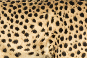 Africa, Namibia, Keetmanshoop. Close-up view of cheetah fur