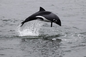 Africa, Namibia, Walvis Bay. The Heaviside's Dolphin, or Haviside's Dolphin