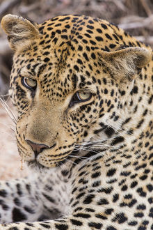 Africa, South Africa, Ngala Private Game Reserve. Close-up of young leopard. Credit as