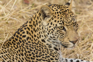 Africa, South Africa, Ngala Private Game Reserve. Close-up of adult leopard. Credit as