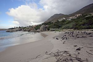 Africa, South Africa, Simons Town, Boulders Beach. African Penguin colony at Boulders