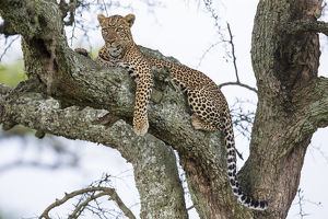 Africa. Tanzania. African leopard (Panthera pardus) in a tree in Serengeti NP