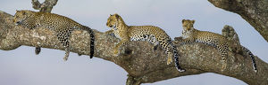 Africa. Tanzania. African leopard (Panthera pardus) mother and cubs in a tree in