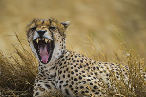 Africa. Tanzania. Cheetah (Acinonyx jubatus) yawning after a hunt on the plains