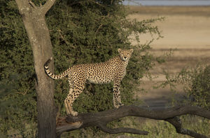 Africa, Tanzania, Serengeti. Cheetah mother (Acinonyx jubatus) on the hunt