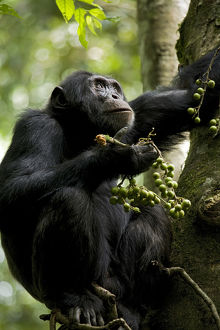 Africa, Uganda, Kibale National Park, Ngogo Chimpanzee Project. Perched in a fig tree