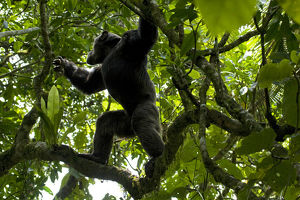 Africa, Uganda, Kibale National Park, Ngogo Chimpanzee Project. With strong shoulders
