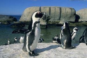 African Penguin, (Spheniscus demersus), wild, Cape Peninsula, South Africa