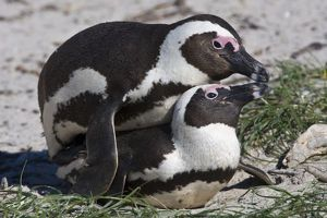 African Penguins, formerly known as Jackass Penguins, mating at Boulders beach near