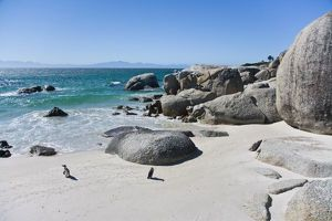 African Penguins, formerly known as Jackass Penguins, at Boulders beach near Cape Town
