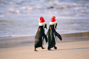African Penguins (Spheniscus Demersus) walking 'hand in hand' near Capetown