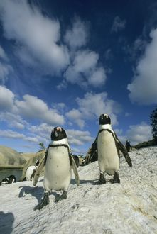 African Penguins, (Spheniscus demersus), colony, Cape Peninsula, South Africa