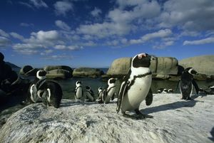 African Penguins, (Spheniscus demersus), wild, Cape Peninsula, South Africa