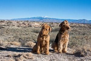 Two Airedale Terriers sitting in the New Mexico desert with the Sierra Blanco Mountain