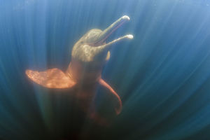 Amazon river dolphins, Amazonas, Brazil