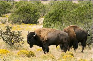 usa/new mexico/american bisons farm santa fe new mexico united