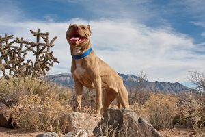 An American Pitt Bull Terrier dog standing on a rock looking regal with the Sandia