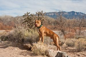 An American Pitt Bull Terrier dog standing on small rock in front of the Sandia Mountain