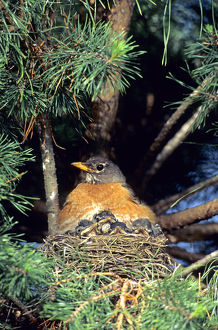 American Robin (Turdus migratorius) brooding nestlings in white pine tree. Marion Co