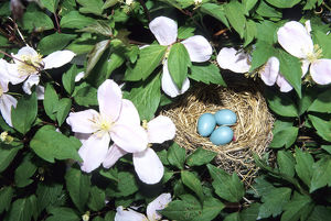 American Robin (Turdus migratorius) nest with 3 eggs in Pink Perfection Clematis