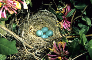 American Robin (Turdus migratorius) nest with four eggs in Gold Flame Honeysuckle