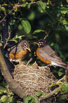 American Robin (Turdus migratorius) male and female at nest in Crabapple tree (Malus sp