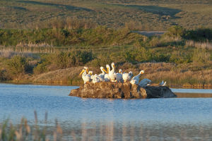 American White Pelicans on small island rookery (Pelecanus erythrorhynchos) at