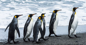 Antarctic, penguins, marching