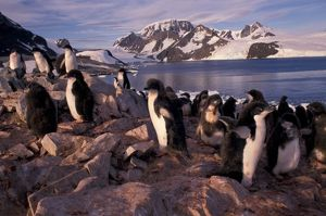 Antarctica, Adelie penguin chicks