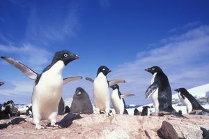 Antarctica, Adelie Penguin (Pygoscelis adeliae) rookery on Petermann Island near