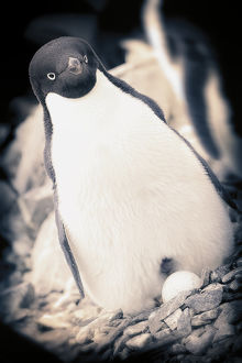 Antarctica. Adelie Penguin sits on an egg. Black and White with vignette border