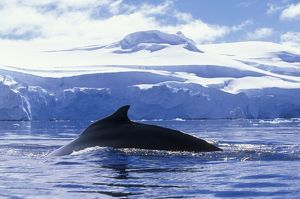 Antarctica, Anvers Island, Humpback Whale (Megaptera novaengliae) swims at surface