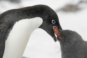 Antarctica, Brown Bluff. Adelie penguin adult feeding young regurgitated krill. Credit as