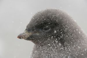 Antarctica, Brown Bluff. Portrait of adelie penguin chick in snowstorm
