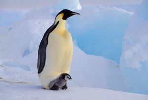 Antarctica, Emperor Penguin (Aptenodytes forsteri), Adult and chick