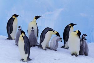 Antarctica, Emporer Penguin ((Aptenodytes forsteri), adults and chicks
