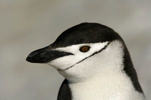 Antarctica, Half Moon Island. Close-up of adult chinstrap penguin's head