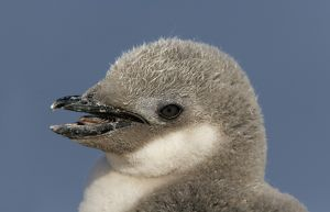 Antarctica, Half Moon Island. Portrait of chinstrap penguin chick's head with