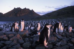 Antarctica, Livingston Island, Hannah Point, Setting sun lights Chinstrap penguins