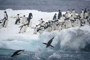 Antarctica, Paulet Island. Adelie penguins leaping off iceberg into ocean. Credit as