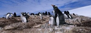 Antarctica, Petermann Island, Gentoo Penguin (Pygoscelis papua) with chicks in rookery